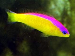 Dottyback Fish | Flashback Dottyback Ultimate Reef