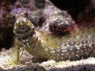 Salarias fasciatus (Lawnmower Blenny)