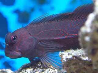 Cirripectes stigmaticus  (Red-streaked blenny)