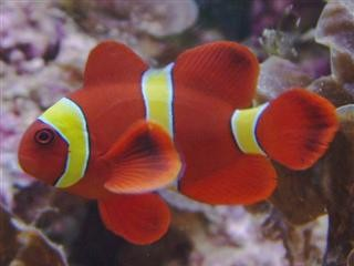 Clown Fish Facts on Premnas Biaculeatus  Maroon Clown