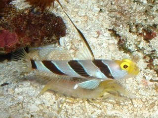 Stonogobiops nematodes (Highfin red banded goby)