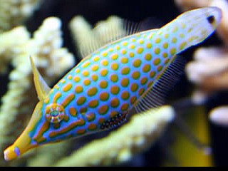 Oxymonacanthus longirostris  (Orange spotted filefish)