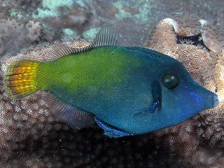 Pervagor janthinosoma  (Black bar filefish)