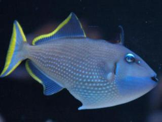 Xanthichthys auromarginatus  (Blue throat trigger)