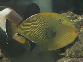 Melichthys indicus  (Indian black trigger)