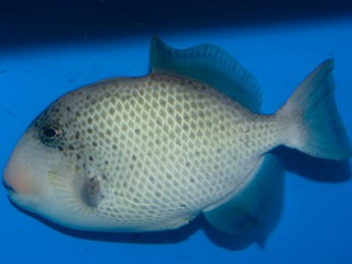 Pseudobalistes flavimarginatus  (Yellowmargin Triggerfish)
